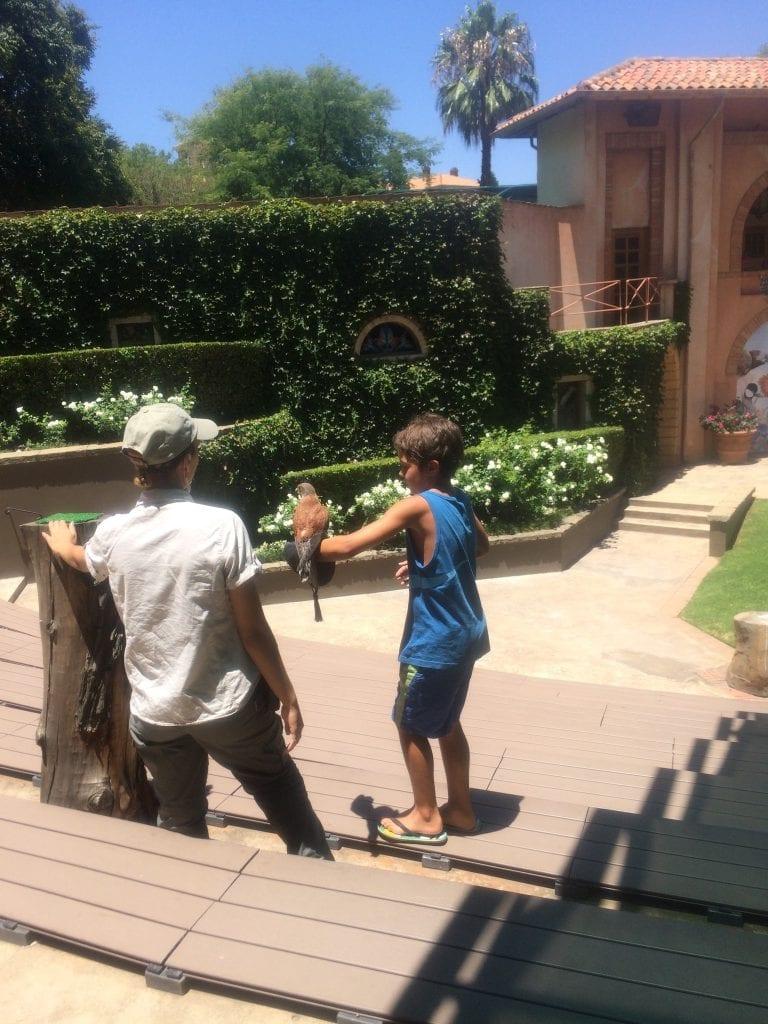 Nick flying an African Rock Kestrel at the Monte Casino Bird Gardens