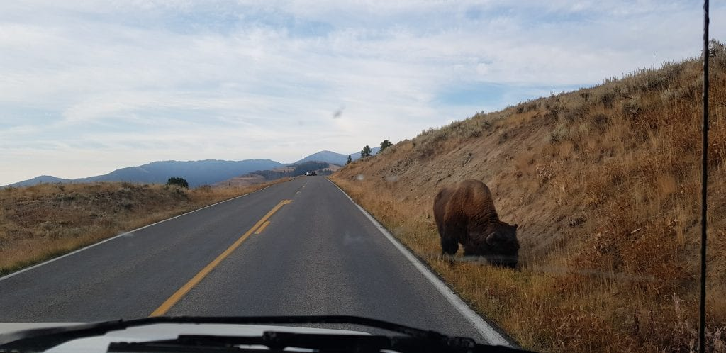 Animal sightings cause delays in Yellowstone