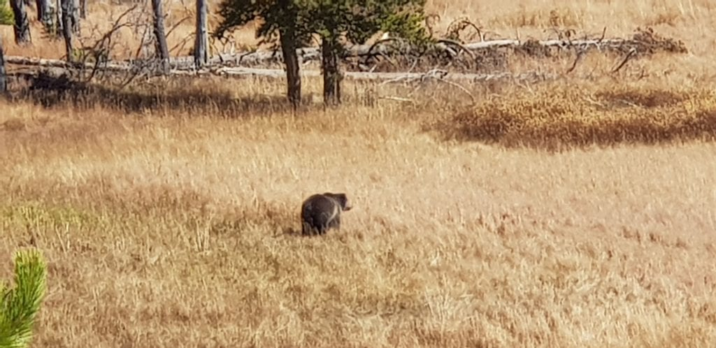 Our one and only Grizzly bear sighting in Yellowstone